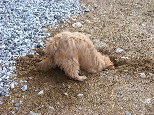 Норная собака