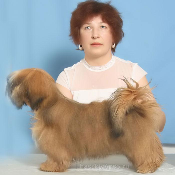 Лхаса апсо собака